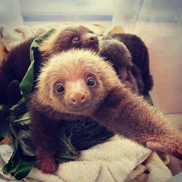 """Important because """" Sloth photos for all!!!!!!!❤sloths❤ I sell shout outs:kik-cowsmoo02 paypal ONLY! Twerking sloths😮 Sfs-see kik👽 I shall call you my slothians."""""""