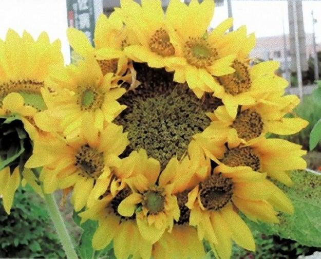 Yo dawg, I heard you like sunflowers so we put some sunflowers in your sunflowers so you can sunflower while you sunflower.