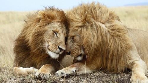 This lion.