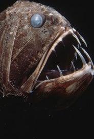 Pez Anoplogaster cornuta