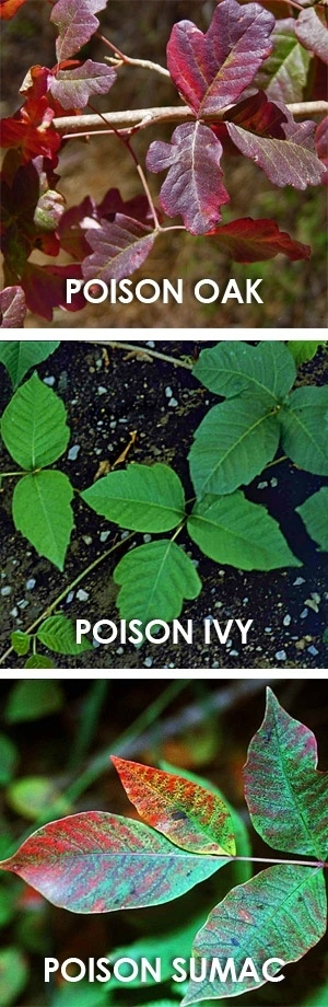 Familiarize yourself with what the poisonous plants look like.