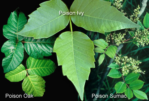 Familiarize yourself with these poisonous plants.