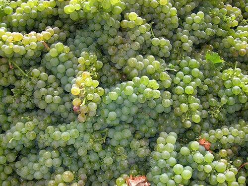 Pronounced SEW-vin-yaw BLAHNK. It is a white wine grape of French origin.