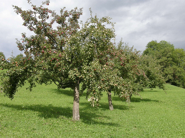 The clone tree armies are grown by grafting .