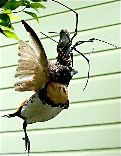 Giant Spider Eating A Bird