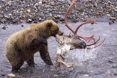 Bear Kills Caribou