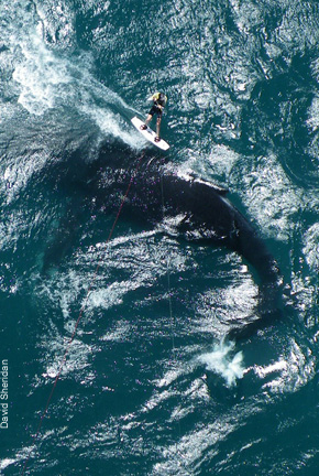 Kitesurfer Smacked by Whale Tail