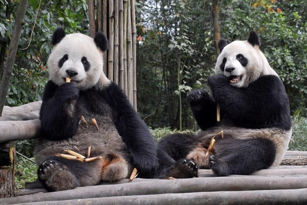 Reunion Pandas