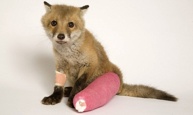 Baby Fox in a Cast
