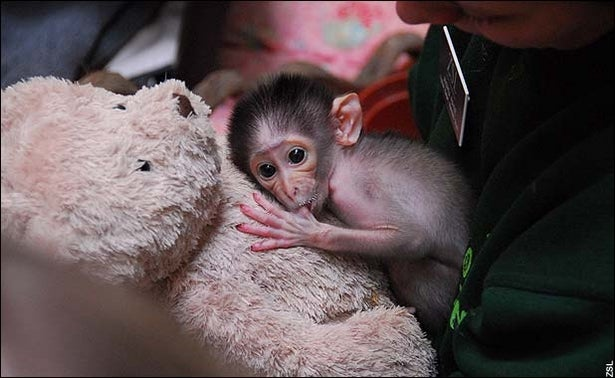 It's a white-naped mangabey monkey, recently born at the London Zoo. After complications during the birth, it's being raised by a zookeeper and a teddy bear.