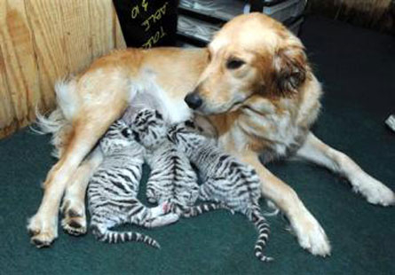 Golden Retriever Nurses Tiger Cubs