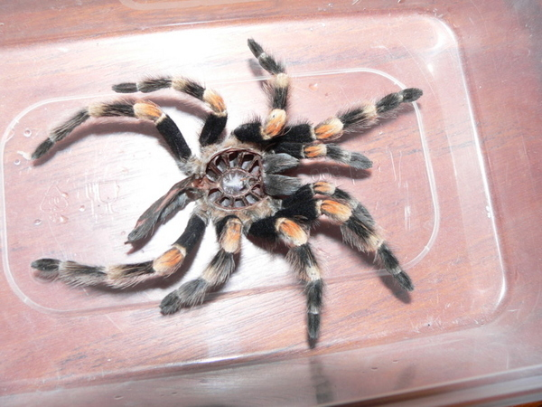Tarantula Birth Control Holder
