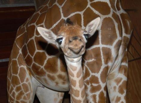 Smiling Baby Giraffe