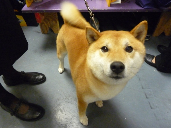 Which Famous Shiba Inu Was At The Westminster Dog Show?