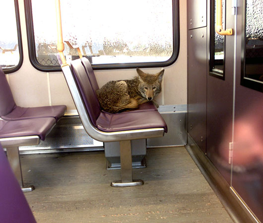 Coyote on a Train