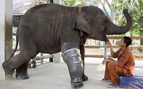 Elephant With A Prosthetic Leg