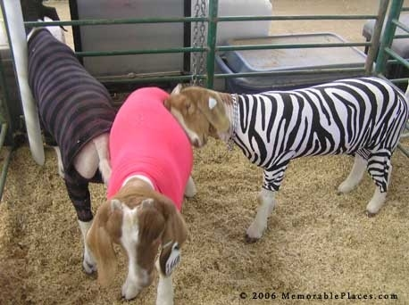 Goats Dressed Like Hipsters