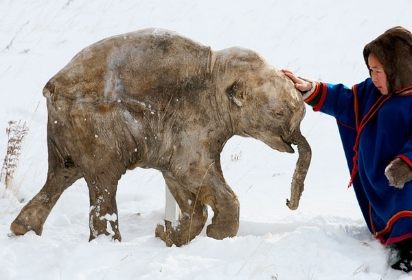 Frozen Woolly Mammoth Baby