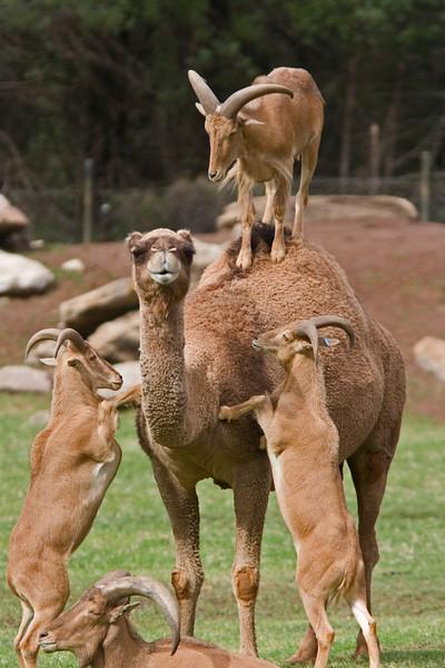 Goats Harass A Camel