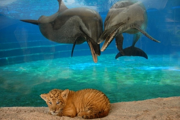 Dolphins Taunt Liger Cub