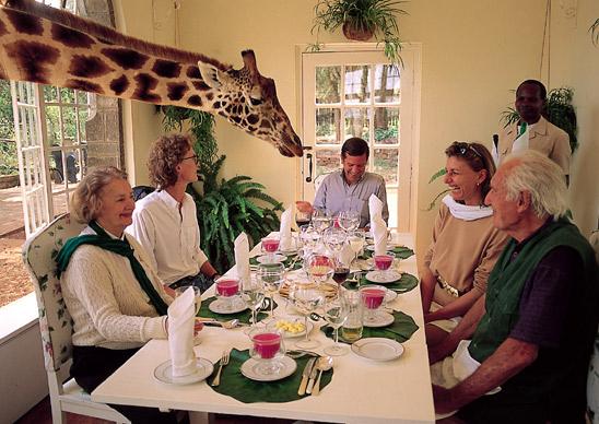 Giraffe Crashes Dinner