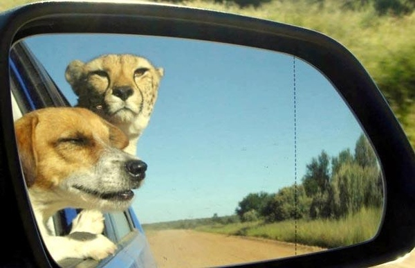 Cheetah In The Rearview