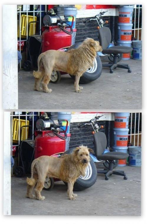 OMG, A Lion! Or, Wait