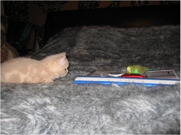 Kitty Vs. Parrot