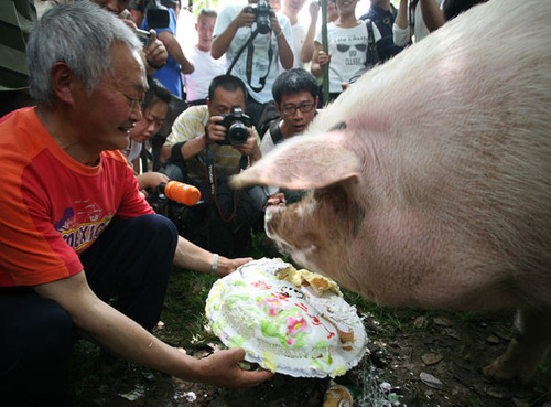 Pig Destined For The Butcher Finds Luxurious Lifestyle After Earthquake