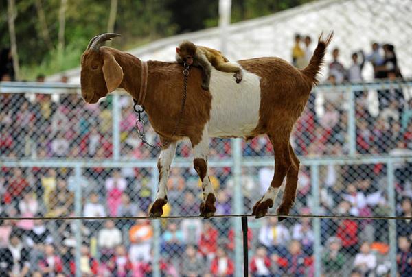 Monkey On A Goat On A Wire