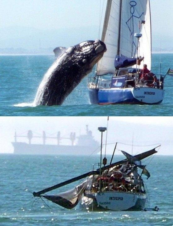 Whale Vs. Yacht