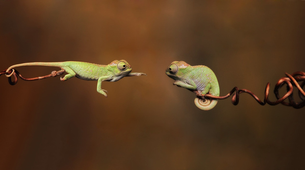 Baby Chameleons Are Adorable