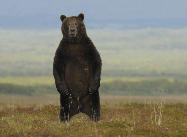 Bear Pissing