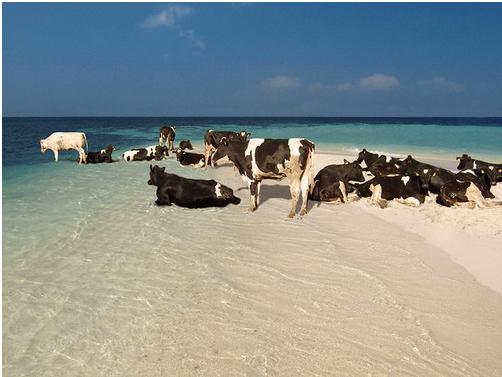 Beach Cows