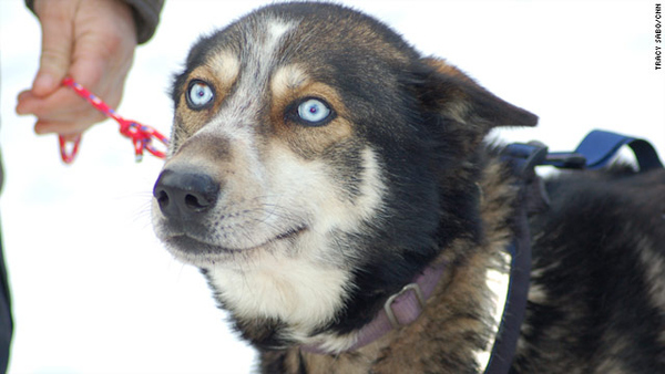 Sled Dog's Crazy Face