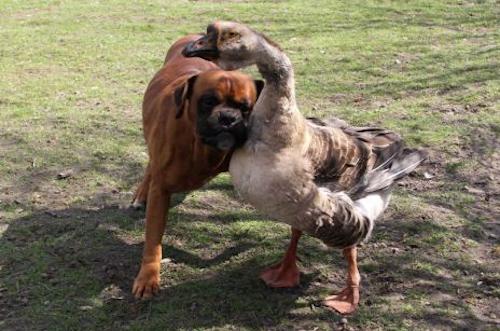 Goose Befriends Blind Dog