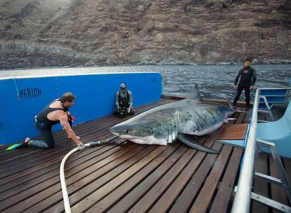 World's Largest Great White Caught