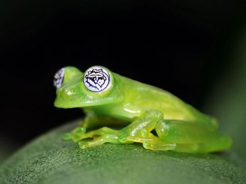 All Hail Hypno-Frog