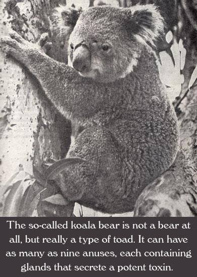 So-Called Koala Bear
