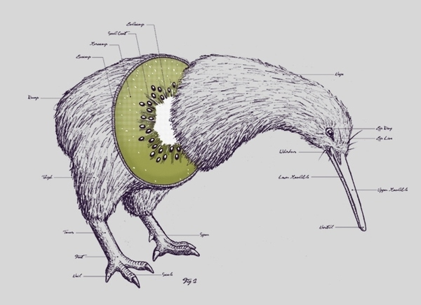 The Anatomy of a Kiwi