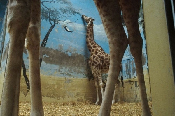 A Giraffe's Zoo Life
