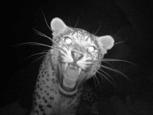 'Extinct' Persian Leopard Snapped in Afghanistan