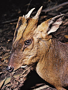 The muntjac deer - primordial tiny deer with FANGS