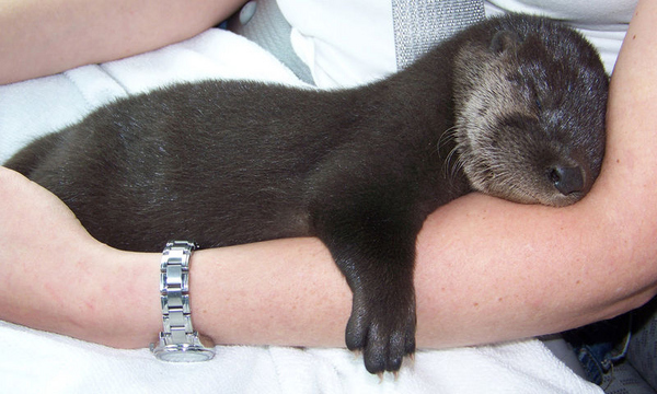 This is Otterly Cute.