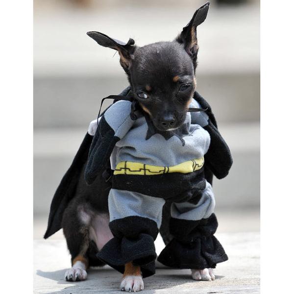 Dog Dressed As Batman