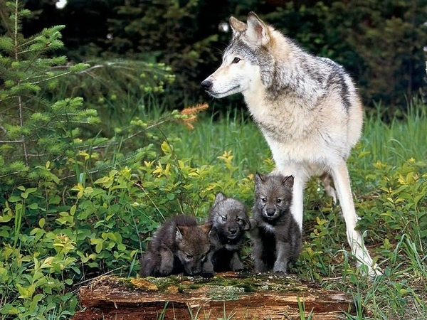 Three Wolf  Puppies and Mom