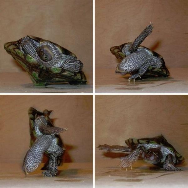 Breakdancing Turtle