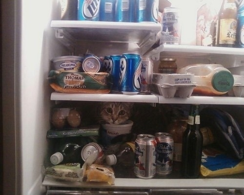 Refrigerator Cat