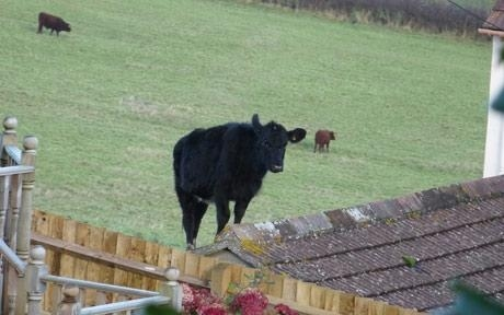 Cow Jumps Onto Roof