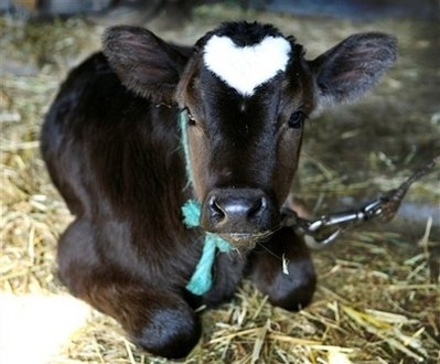 Cute! 'Heart', the Valentine Ox Born in Japan